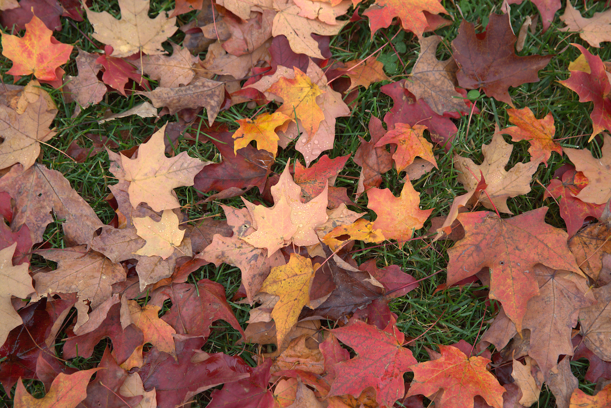 Autumn leaves on the campus ground