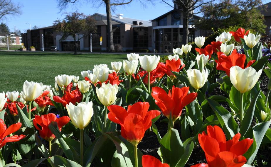 Tulips in bloom on campus
